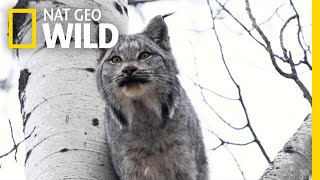 Two Lynx Cats Scream at Each Other—Can You Stand It? | Nat Geo Wild by Nat Geo WILD