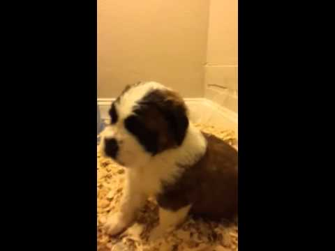 Adorable Saint Bernard Puppies for Sale. Ready to go home with you today.