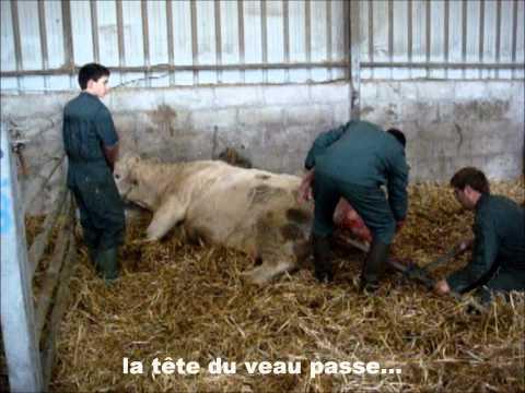 Observation du vêlage d'une vache charolaise