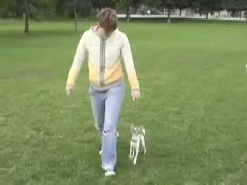 chihuahua tricks agility freestyle…
