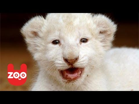 6 White Lion Cubs Born at a Safari Park in Germany – Video