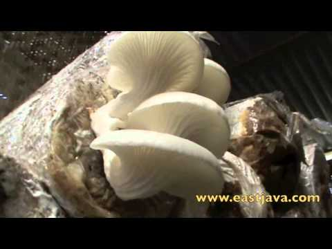 Mushroom Cultivated Industry