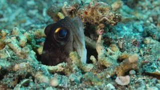 Mating Nudies, jawfish and barracudas on the House Reef!