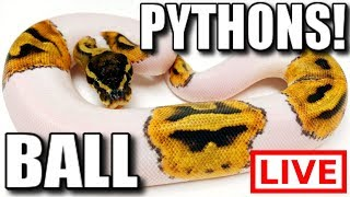 BALL PYTHONS LIVE🔴 by Brian Barczyk