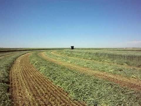 swathing - hartley TX.
