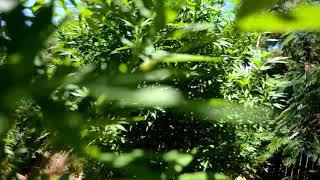 2018 outdoor grow northern California update by Emerald Coast 420