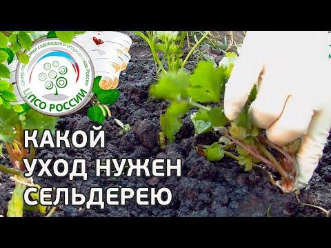 Уход за сельдереем в период роста. Выращивание сельдерея.