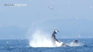 Une orque envoie un phoque à 25 mètres de haut