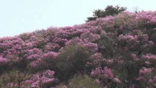Nonton The Azalea blossom of Colorfull and Beauty on Goryu mountain 2011. Film Subtitle Indonesia Streaming Movie Download