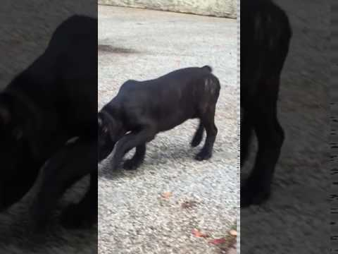 Pretty Cane Corso girl in action