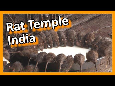 Video India - Bikaner Karni Mata rat temple download in MP3, 3GP, MP4, WEBM, AVI, FLV January 2017