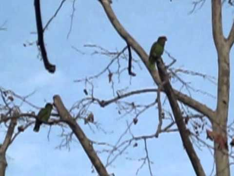 Two Red-Crowned Parrots in OC
