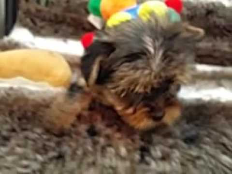 SUPER CUTE FEMALE YORKIE PUPPY