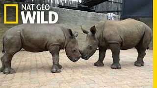 Orphaned By Poachers, a Baby Rhino Makes a New Friend | Nat Geo Wild by Nat Geo WILD