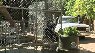 The CBS Evening News With Scott Pelley - The Perils Of Owning Exotic Pets