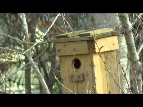 Storno in nidificazione sulla cassetta nido 3