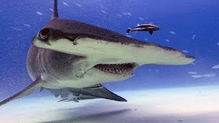 SharkWeek  Starts Sun Jul 23 From cancer research to weather watching, sharks have helped humans engineer a better life. Stream Full Episodes Now on ...