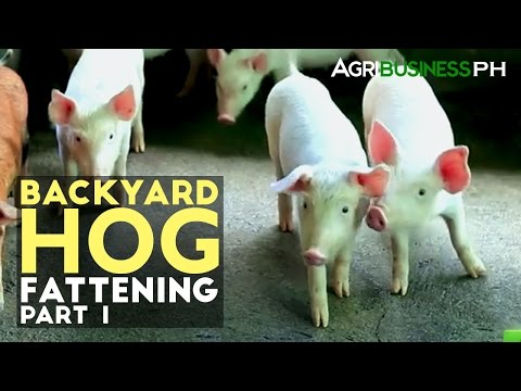 Backyard Hog Fattening Part 1 : Hog Fattening Industry in the Philippines | Agribusiness Philippines