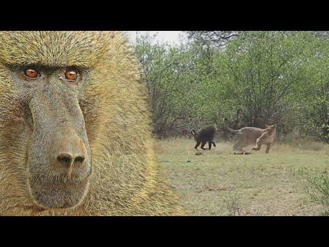 Baboon Menyerang Singa, Macan Tutul, Buaya, dan Hewan Lain Di Sekitarnya