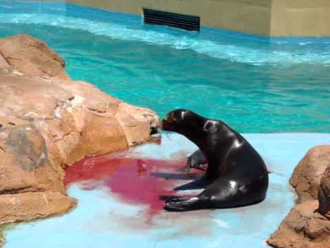 Sea Lion giving birth.