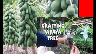 Video #TIS#CARA Praktis Cangkok Pepaya agar Mini+Buah Lebat  [How to Grafting Papaya Tree] MP3, 3GP, MP4, WEBM, AVI, FLV Februari 2018