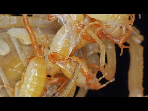 Watch The Birth Of Six Adorable Baby Scorpions