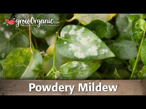 Powdery Mildew — Organic Gardening
