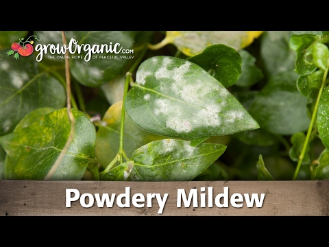 Powdery Mildew—Organic Control
