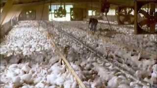 Nonton Food Inc  Chicken Clip Film Subtitle Indonesia Streaming Movie Download
