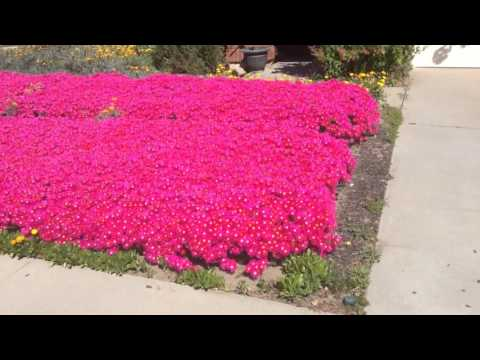 Front yard ice plant totally blooming