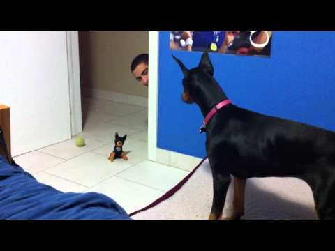 Funny Scared Doberman and Stuffed Toy