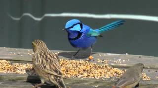 Splendid fairy wren, finches, aviaries, three stages of seasonal color