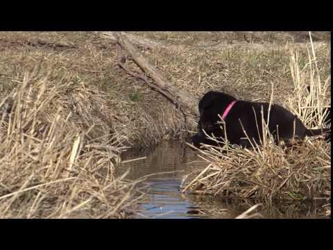 Labrador Retriever, Female