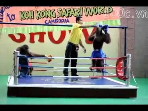Trận đấu võ độc nhất - Khỉ thi đấu quyền Thái - Hài hước