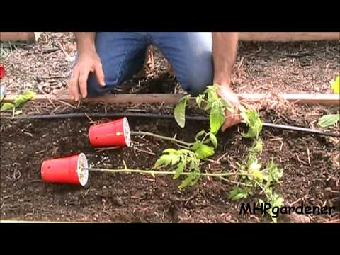 planting - For planting tomatoes in a trench, or sideways, this is a helpful tip. It was suggested by someone who commented on one of my videos last year (alan30189). W...