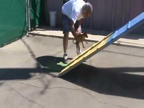Chihuahua Does Dog Agility at Villa La Paws