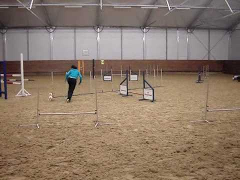 Chihuahua agility training