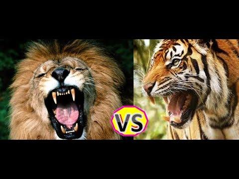 Tigre - A luta ente um Leão e um Tigre em 1930 acesse http://dvd-f.blogspot.com.br/