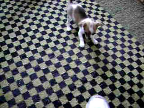 Chihuahua Barking At Shoe, Tail Wagging Fun