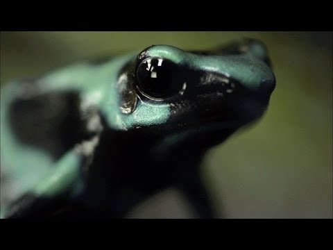 This Frog's Poison Can Kill 10 Men