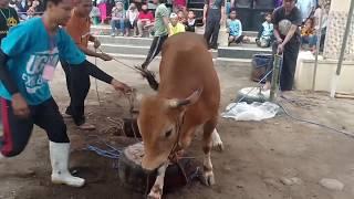 Video Sapi Mengamuk Menyerang Warga Di Kota Tasikmalaya MP3, 3GP, MP4, WEBM, AVI, FLV Agustus 2019