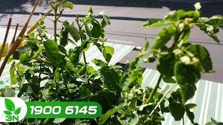 Trồng trọt | KHắc phục rau ngót xoăn lá, héo cây: