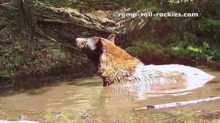 Video A young black bear soaks in a water hole (June, 2017) MP3, 3GP, MP4, WEBM, AVI, FLV September 2017