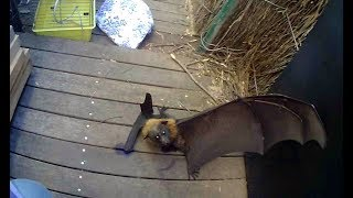 Siri is an adult female Grey-Headed Flying-Fox who most likely smacked into a building around 2am, fell to the ground, had a screaming match with a dog who was a bit sooky and more scared than aggressive, where no actual contact seems to have occurred.Then when she was less stunned from her collision she got her thumb trapped in between the decking planks while trying to find somewhere to climb out of her small prison.  When I got there she had her thumb well and truly stuck and her thumb was swollen and slippery making it quite difficult to wiggle it out.Siri is most likely pregnant - she's quite a good weight for a female and she's got no skinny little waist.Sometimes/frequently the stress if the accident, injury and capture causes the females to abort.  Siri has gone to another carer this afternoon for 2 reasons.  One:  she was agitated and unwilling to settle in the incubator.Two:  if she is pregnant, the company of other females is usually a calming influence.  Thank you Lisa and little Jack for caring for little Siri, and keeping her safe till I got there.Addit:Night one after rescue:  her thumb is quite swollen and blistery and she's very quiet.  Bat wing membrane swells easily, and bat thumb injuries - even minor ones, can be very serious, sometimes ending in amputation for what seemed to be a tiny graze.Day 2:  She is still quiet but her thumb has gone down a bit.  She didn't lose her baby overnight.Day 2 evening:  She deteriorated massively during the day.  She died.