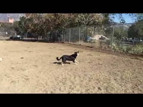 Border Collies Catching A Frisbee In Slow Mo At Burbank Dog Park In California