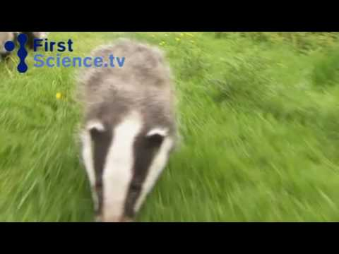 badger - The owner of a conservation centre for badgers takes her charges for a walk before feeding time. Taken from the show