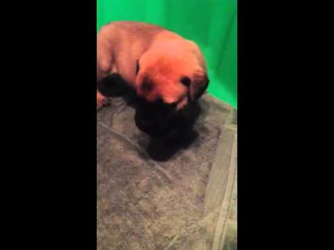 Tiger Lily Red Female 4 wks