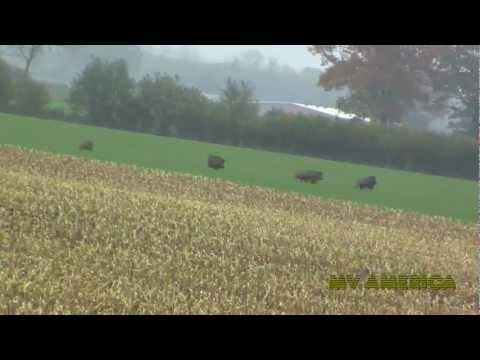 Wildschweine auf der Flucht