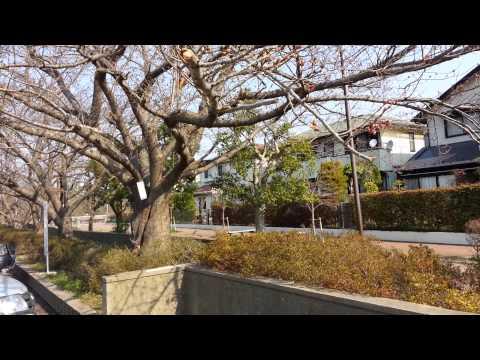 桜前線(大山口中学校ソメイヨシノの開花)