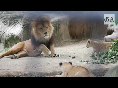 Neuwied: Die Löwenbabys im Zoo Neuwied (2017)